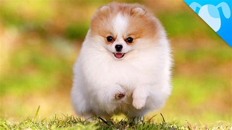 what does pomeranian all about pomeranian puppies goldenacresdogs