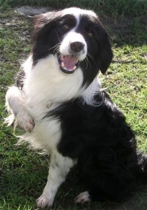 border collie rescue puppies destroy what destroys you rp sign ups other animals feralfront