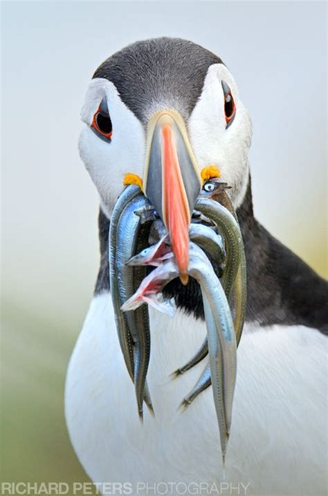 17 best images about birds puffins on pinterest