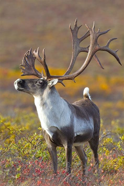 caribou color caribou color of fur varies considerably both