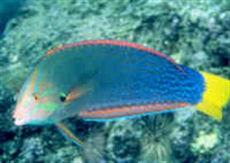 Ikan Hias Keling Lilin keling vs keling versi cetak