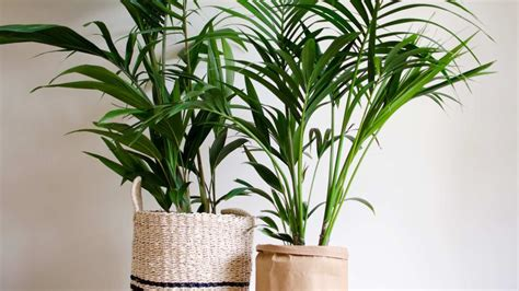 indoor plants   purify  air   home