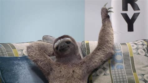 sloth on a couch sofaworks quot doesn t do pressure quot at david reviews