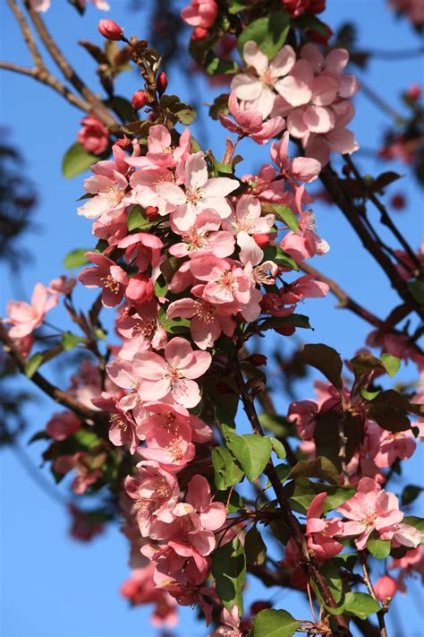 branch covered with pink crabapple blossoms picture free