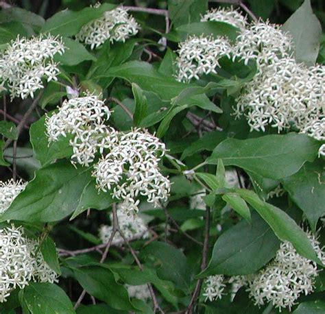 flowering dogwood shrub gray dogwood cornus racemosa lam 01a flowering