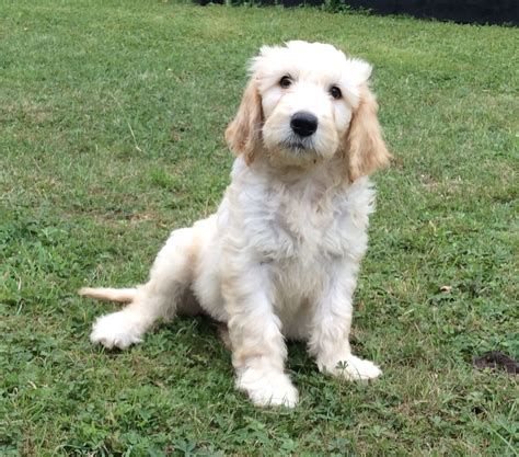 retriever doodle puppies for sale uk outstanding litter of goldendoodle puppies wantage