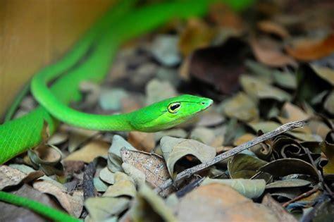 Garter Snake Green Black Green Garter Snake Pero Parang Mata Ni Kermit The Frog