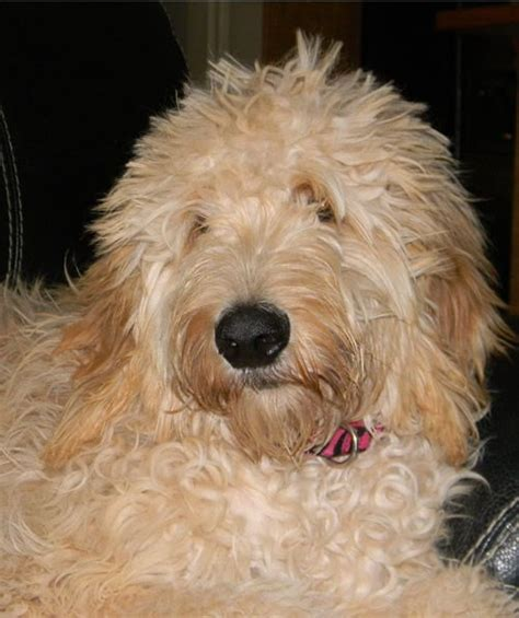 poodle doodle puppies for sale f1 standard goldendoodle puppies for sale poodle crossed