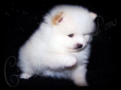 husky mixed with pomeranian puppies for sale image pomeranian husky mix puppies for sale