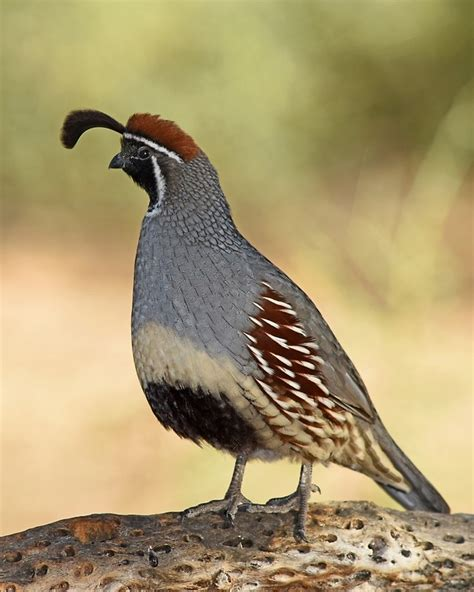 Next Home Wall Stickers quot gambel s quail male quot by rmanruss redbubble
