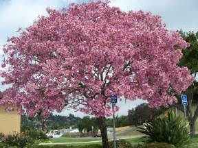 the 2 minute gardener photo pink trumpet tree tabebuia