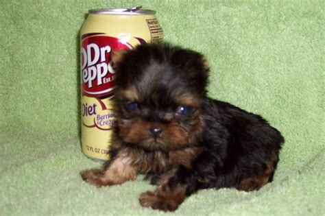 9 month yorkie t cup yorkie 2 months courtashashyorkies