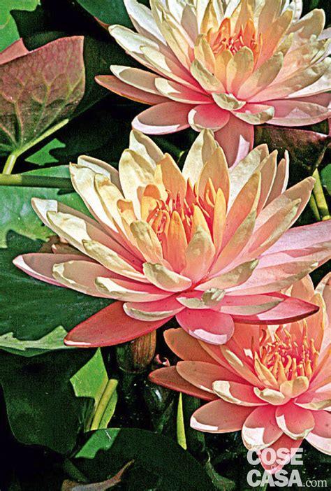 fiore ninfea nymphaea hybrida ninfea ibrida cose di casa