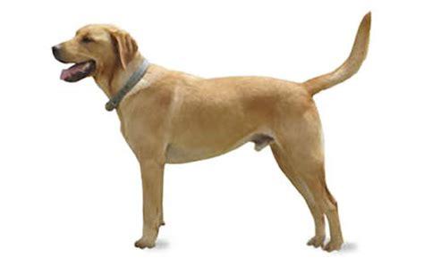 goldador puppies goldador breed information pictures characteristics facts dogtime