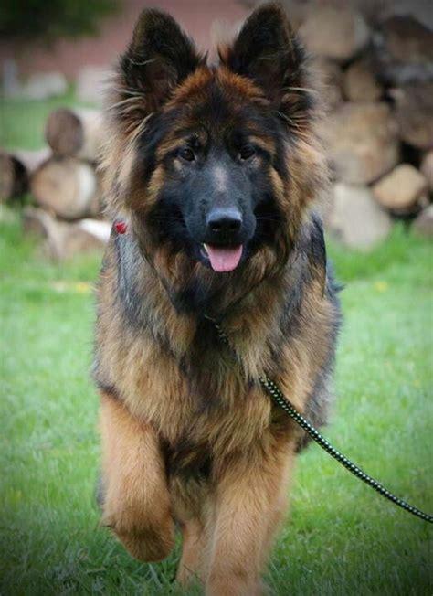 dogs like german shepherd best 25 haired german shepherd ideas on german shepherd ears