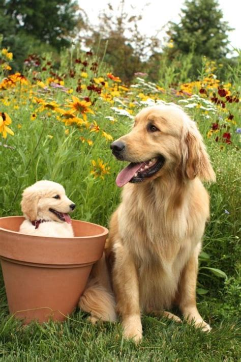 pictures of golden retrievers 305 best golden retriever puppies images on
