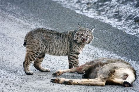 bobcat attacks bobcat attack images
