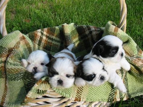 shih tzu and cats image shih tzu puppies jpg dogs and cats wiki fandom powered by wikia