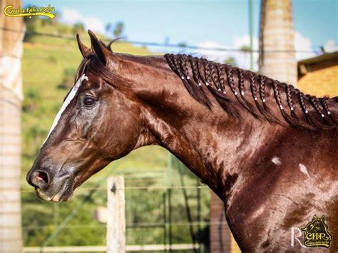 cavalo mangalarga paulista lindo garanhao