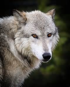 Gray And White Duvet Cover Yellow Eyes Photograph By Steve Mckinzie