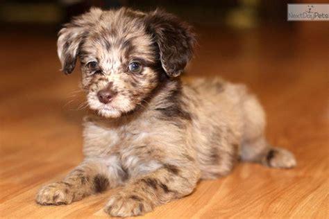 blue merle aussiedoodle puppies for sale aussiedoodle puppy for sale near richmond virginia c0b7f09d e2a1