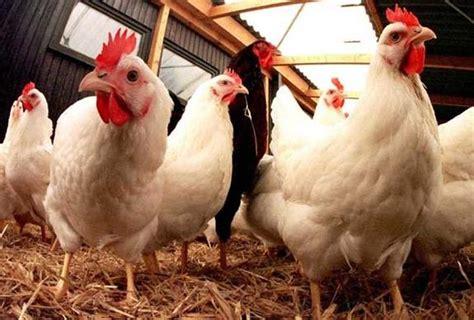 Ayam Potong Hari Ini Harga Ayam Broiler Hari Ini Terbaru April 2018 Jantan Betina
