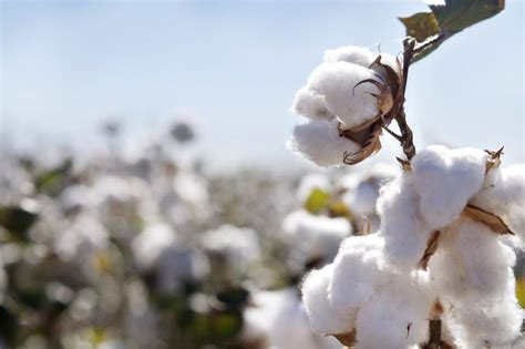 de la production mondiale de coton est labellisee