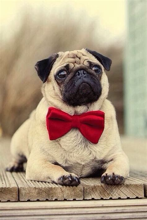 pug bow tie pets i am and bow ties on