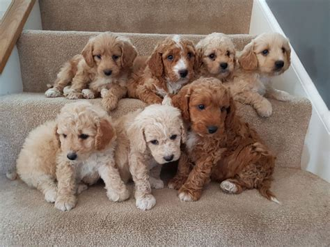miniature labradoodle puppies f1b miniature labradoodle puppies derby derbyshire pets4homes