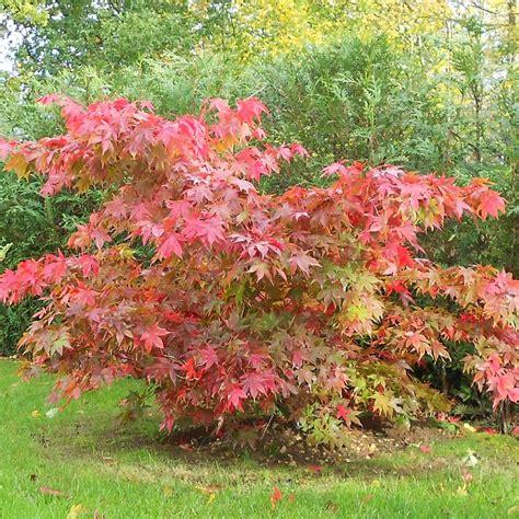 acer palmatum osakazuki red japanese maple trees for sale