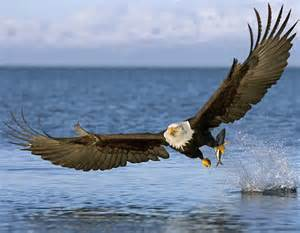 List Of Home Decor Stores by American Bald Eagle Captures Fish River Animal Original