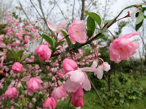 cherry tree species 187 flowering trees photos