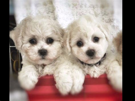 akc marketplace puppies bichon frise puppies for sale near wesley chapel florida akc marketplace