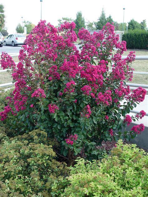 summer flowering shrubs summer flower summer flowering shrubs