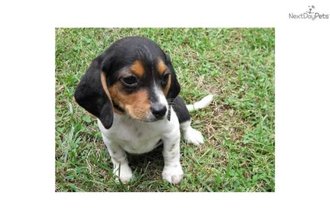 beagle puppies for sale in missouri beagle puppy for sale near southeast missouri missouri 670b07f3 af71