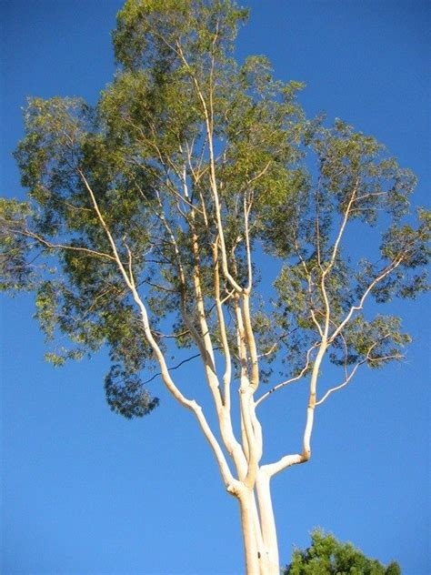 eucalyptus trees eucalyptus tree information how to care for a eucalyptus tree