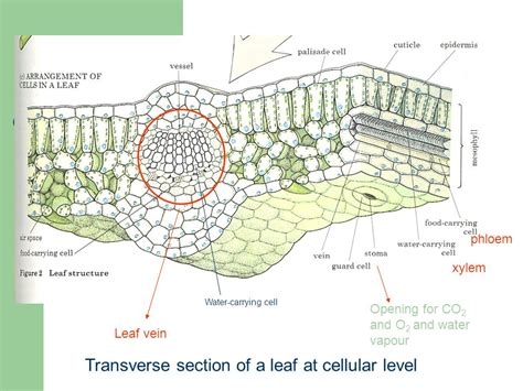 transverse section of a leaf diagram structure and functions of a plant leaf lecture 5 ppt