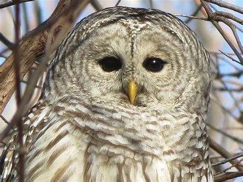 L Owl by Toronto Wildlife More Barred Owls