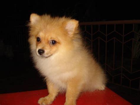 price of pomeranian in philippines pomeranian pup 4sale for sale adoption from manila metropolitan area quezon adpost