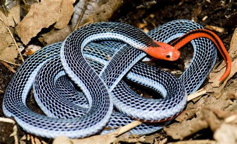 coral snake colors mu warning colors part 3 evolution of coral snakes