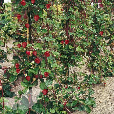 climbing strawberry plants strawberry mount everest 6 x 6 cm plants