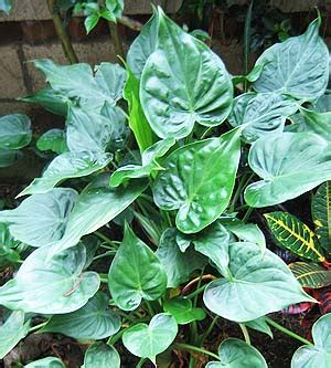 taro leaves plant care alocasia cucullata pb6 5 20 30 greenleaf nurseries