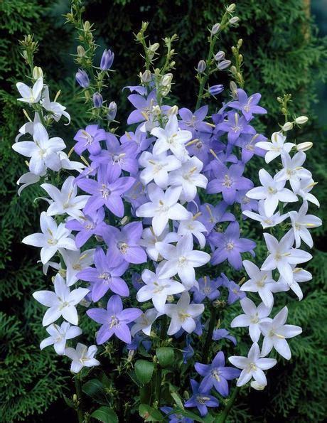piante fioriscono a settembre piante perenni fioriscono in estate a medio e grande