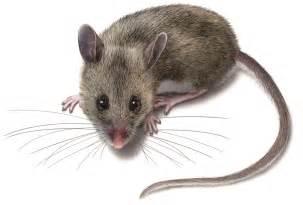 get rid of deer mice deer mouse identification