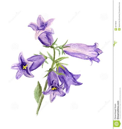 cultivated bluebell stock illustration illustration of