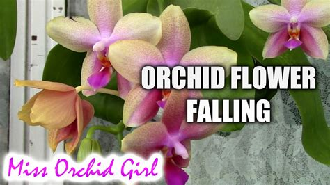 orchid flowers falling due to pollen loss youtube