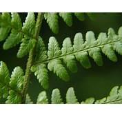 Dryopteris Filix Mas  Common Male Fern Images