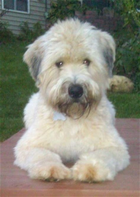 soft wheaten terrier puppy soft coated wheaten terrier breed pictures 3
