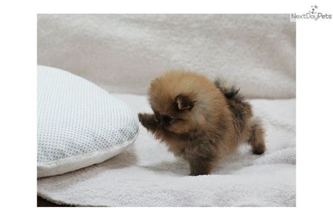 micro teacup pomeranian puppies puppies 11 cheerful teacup pomeranian puppy friendly pomeranians for sale i
