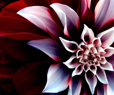 cool 3d flowers android wallpapers 960x800 phone hd wallpaper
